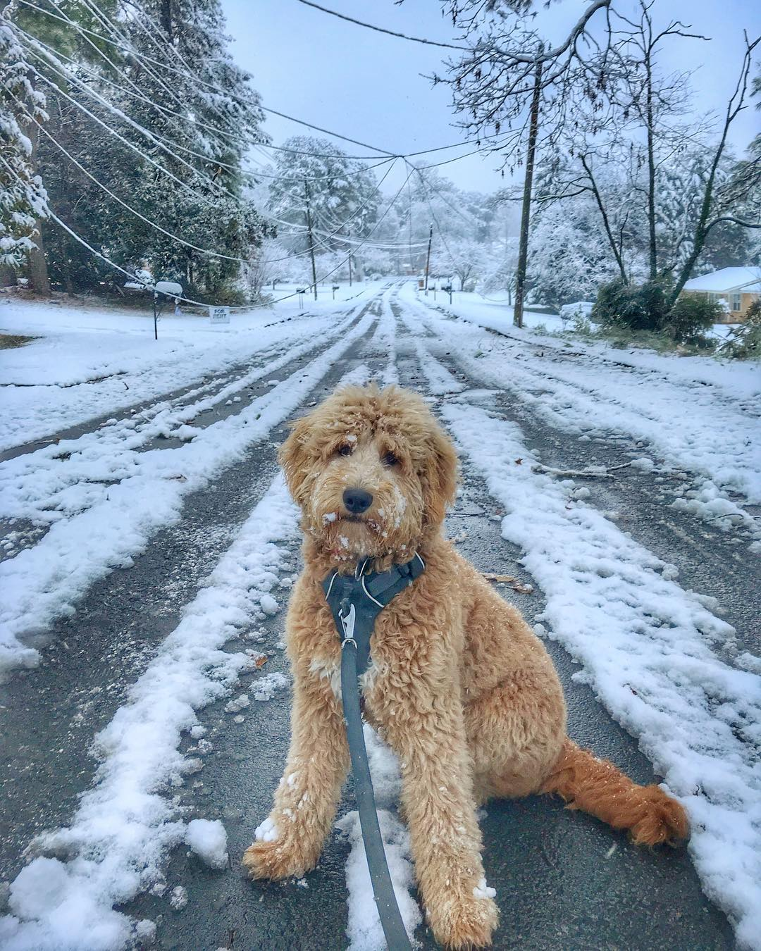 Barkley The Doodle