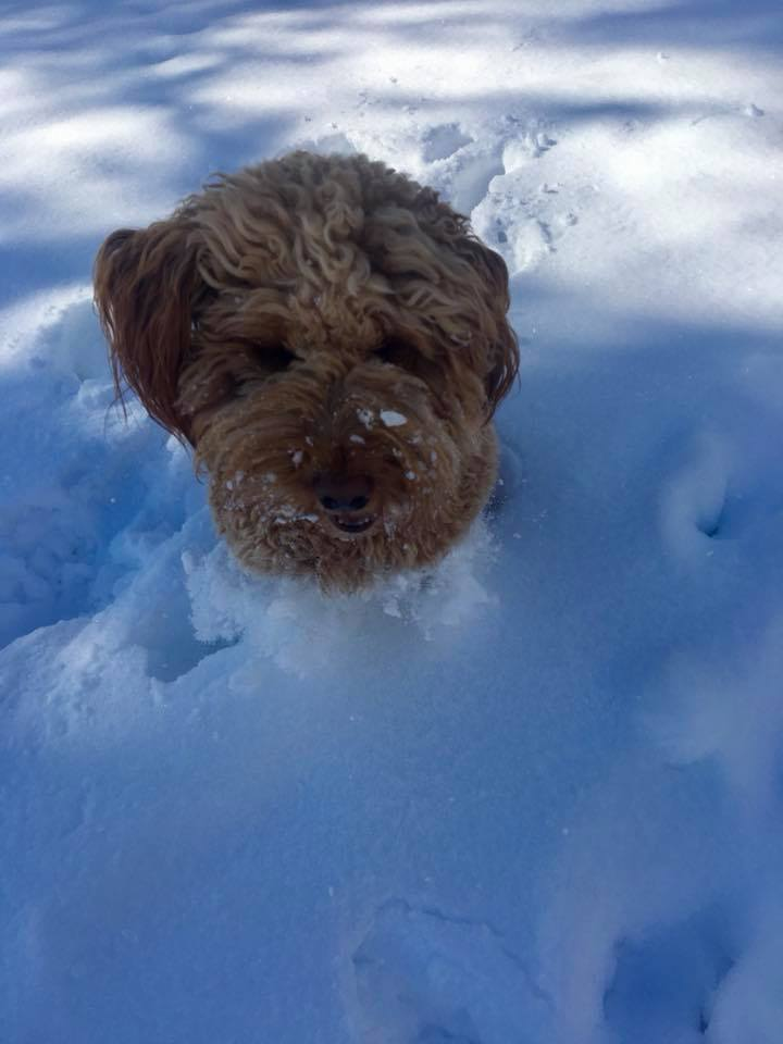 Bodhi up to his neck in snow!