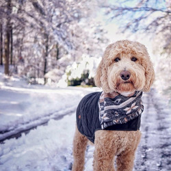 Indy The Goldendoodle
