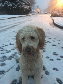 Tallulah The Goldendoodle