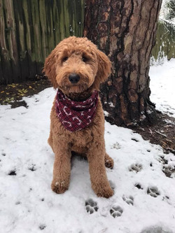 Reese The Goldendoodle