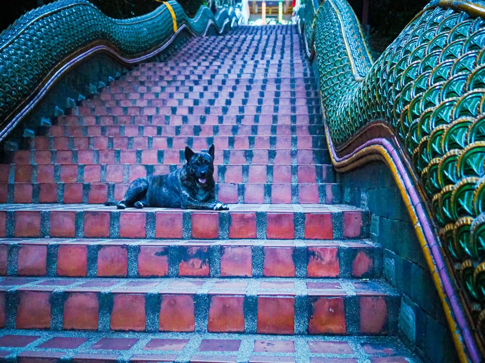 A dog on the 309 steps up to Wat Phra That Doi Suthep, Chiang Mai, Thailand