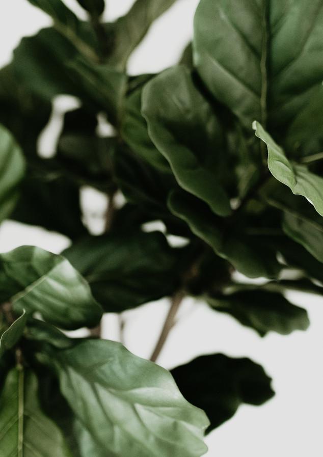 Fiddle Fig Tree