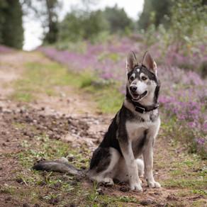 Giving back: Charity Husky Calendar 2021