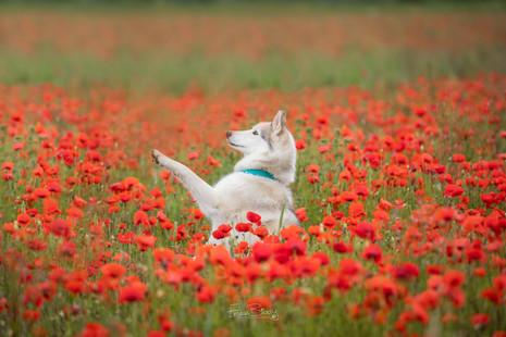 Poppies paw-1.jpg