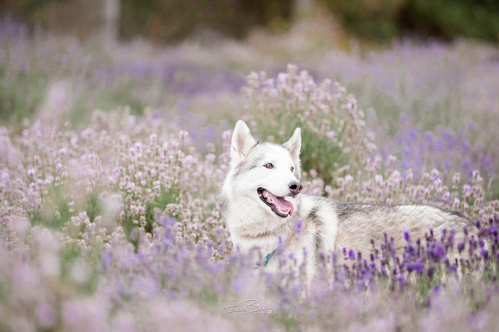 Hendrix lavender-1.jpg