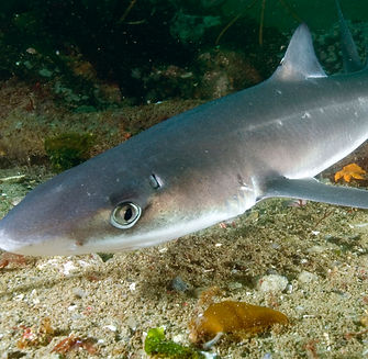Spiny dogfish 052.jpg