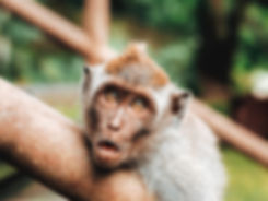 Animal_Monkey_Shocking_5K_Wallpaper_edit