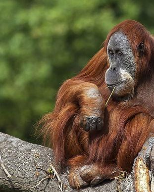 animalli.com-animals-orangutan-animal-pr