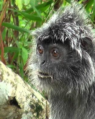singe argenté bako
