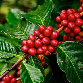 Healing with the Spirit of Coffee