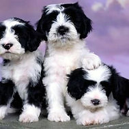 black and white goldendoodles.jpg