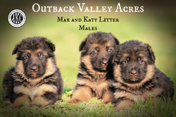 Male Black and Tan Puppies