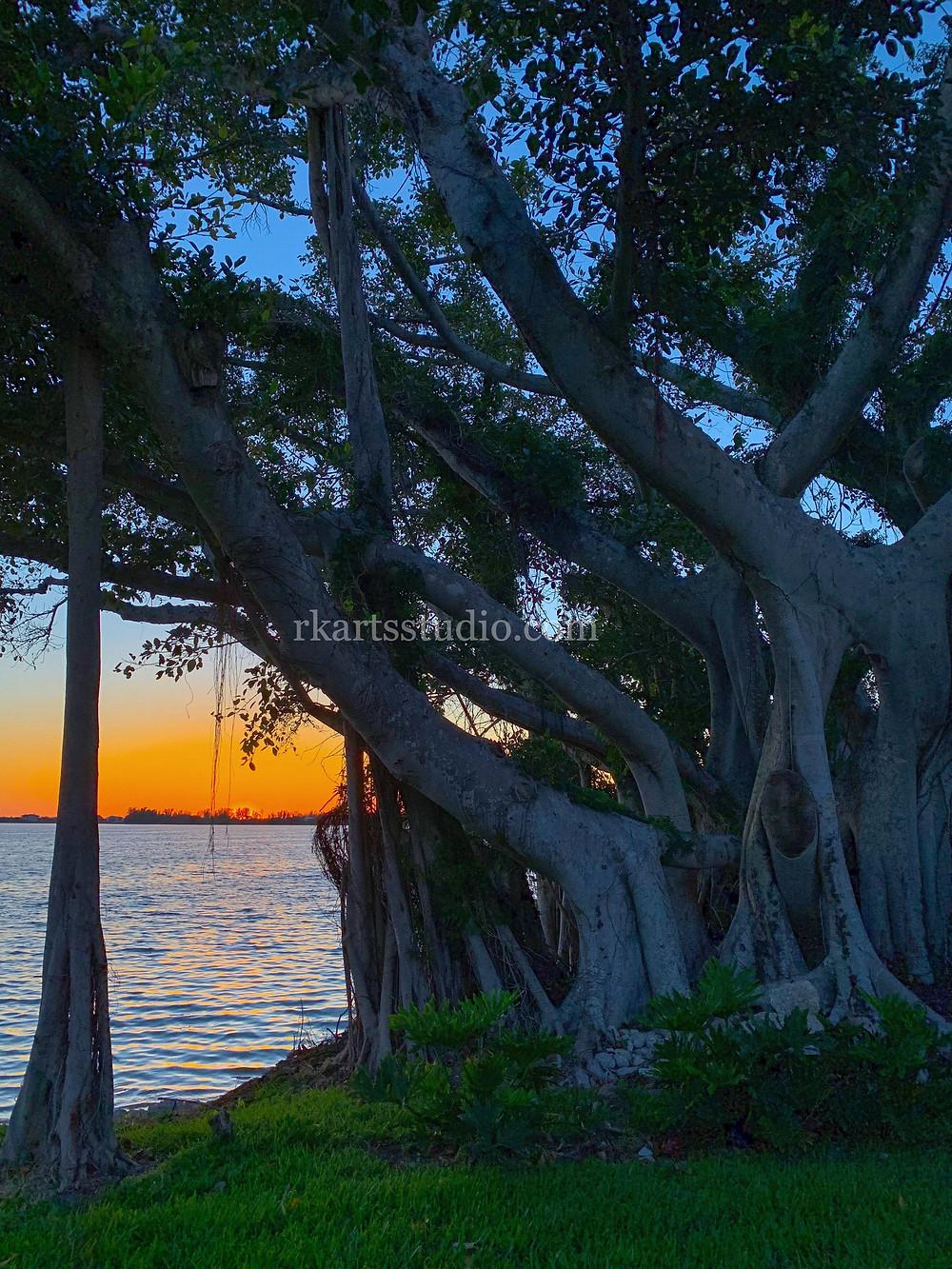 The Banyan Tree, Bradenton Florida, RKAS Photo
