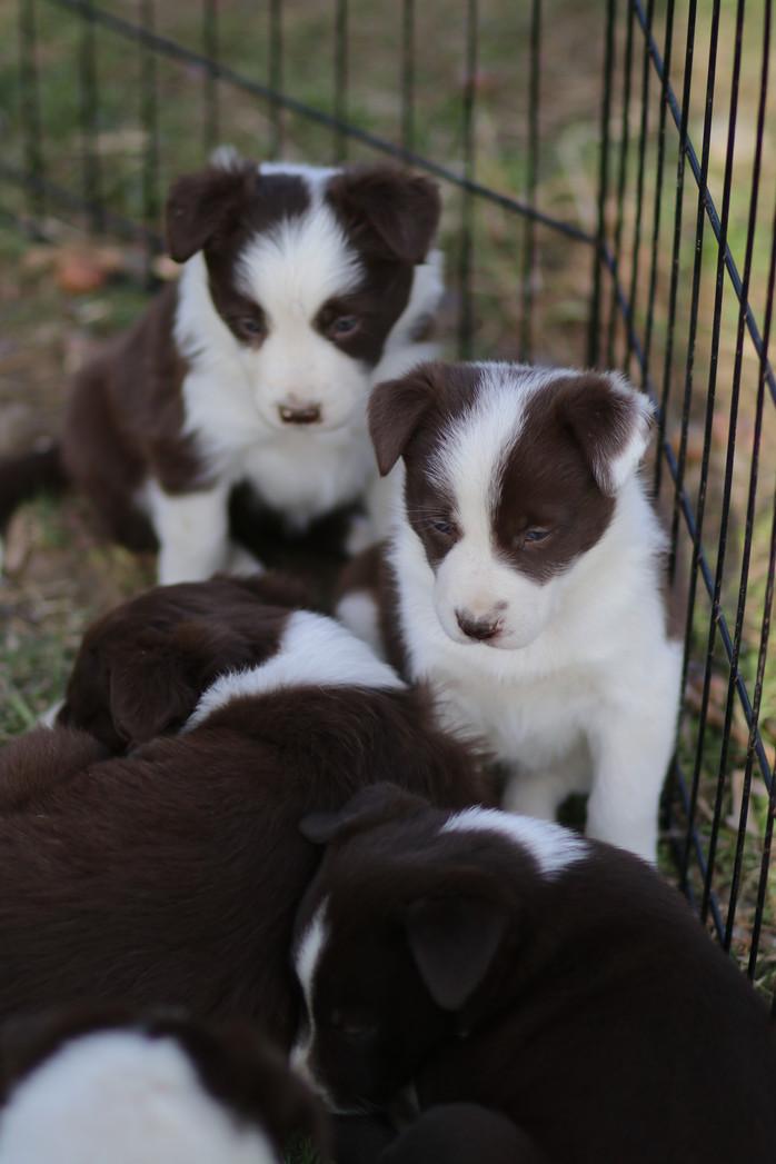 Border Collie Aussie Puppies update Fancy's pups