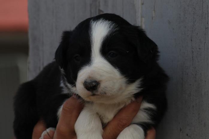 Border Collie Puppies Ella litter update