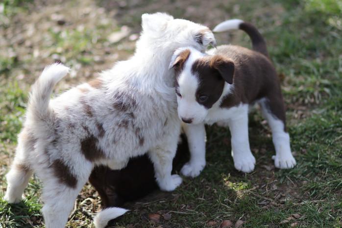 Aussie/Corgi puppies Patches Litter Update