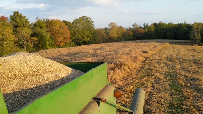 Harvesting Oats!
