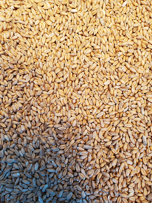 Organic Warthog Wheat