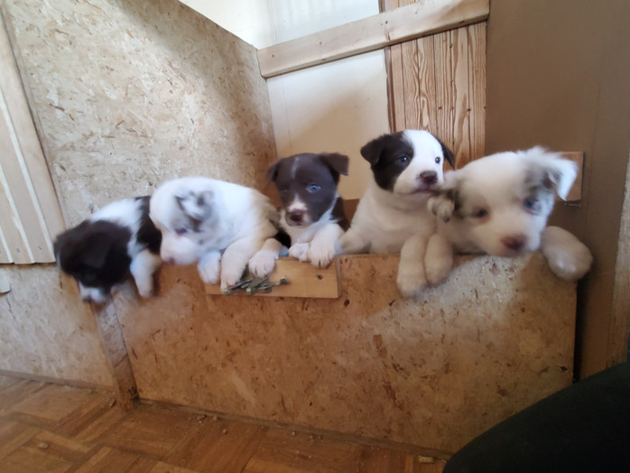 Patches Aussie/Corgi Puppies Update