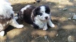 Australian Shephard Puppy20180806_120641