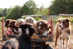 Australian Shephard Puppies