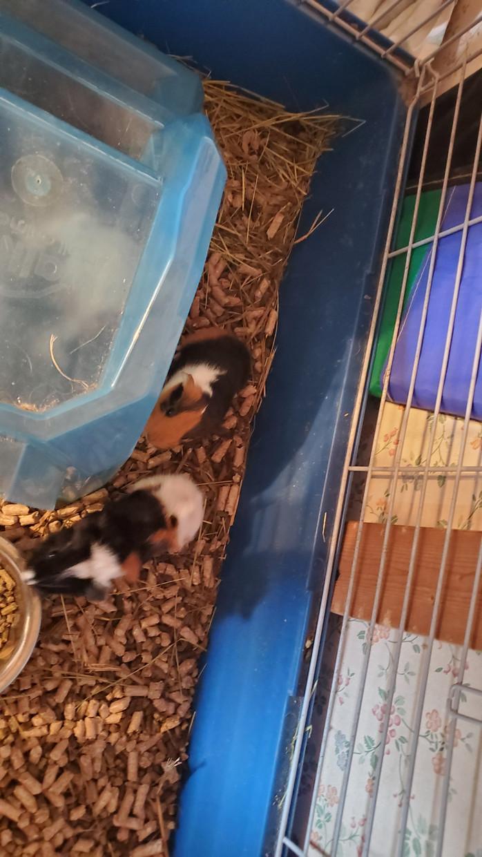 Guinea pig babies!!