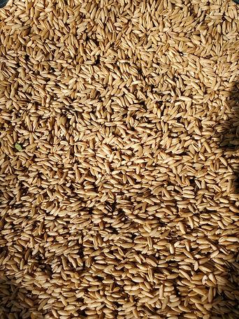 Hull less oats.jpg