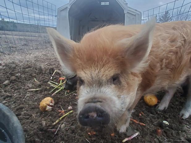 Kune kune pigs.jpg