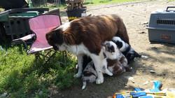Australian Shephard Puppy