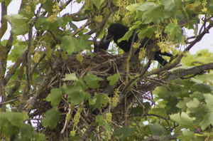 Crows building nests