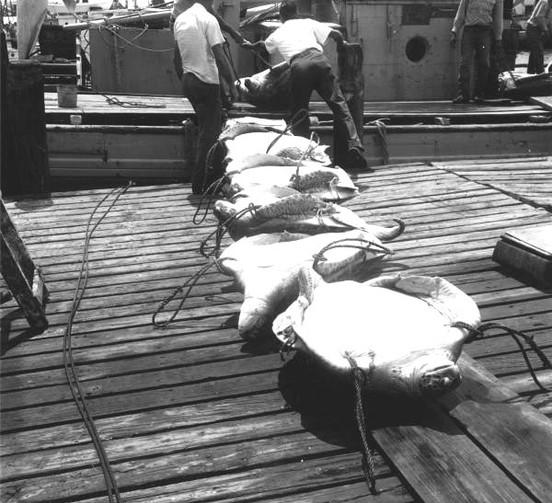 Schooner A.M. Adams Unloads Turtle at Key West