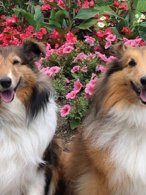 The REAL Shelties