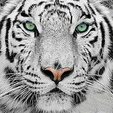 tigre-blanc-broderie-diamant-kit-complet