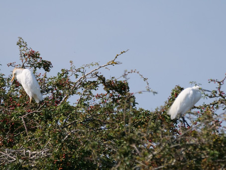 RSPB Pagham Harbour. 23.08.21 Juvenile Cattle Egrets and an Osprey