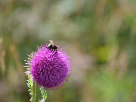 Gardening for wild bees (bumblebees and solitary bees), a fact sheet from Dr Nikki Gammons FRES