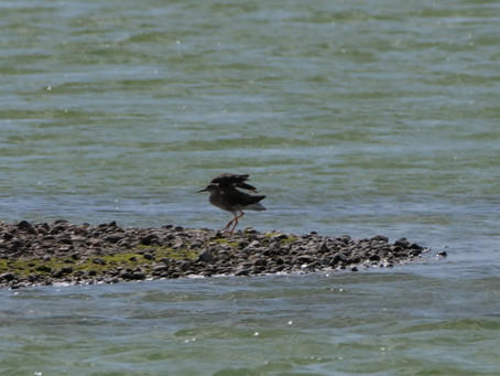 Rye Harbour Nature Reserve. 24.08.21. A Ruff!