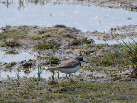 RSPB Medmerry 26.05.21: Little Ringed Plovers; and the decline of Herring Gulls, Linnets and Cuckoos