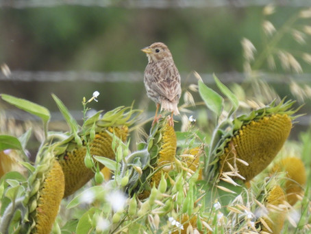 Corn Buntings on Bullock Hill and Wheatear & Stonechats in the Castle Hill Nature Reserve 12.09.21