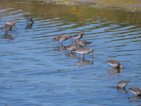 RSPB Pagham Harbour & Medmerry Reserves 09.06.21: 11 Black-Tailed Godwits and  Mediterranean Gulls