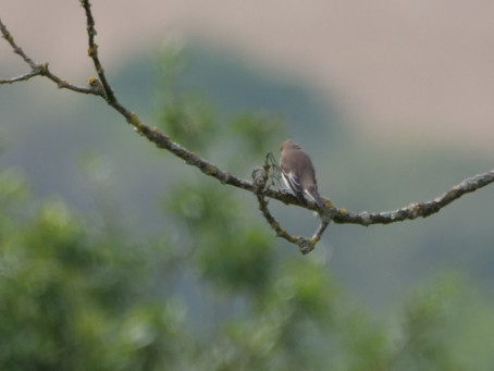 Birds & Butterflies at Cissbury: 2 trips; 2 birding groups; one day. 04.09.21. A Pied Flycatcher
