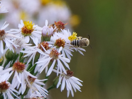 Sea Asters and Sea Aster Bees. Cuckmere Haven. 10.09.21