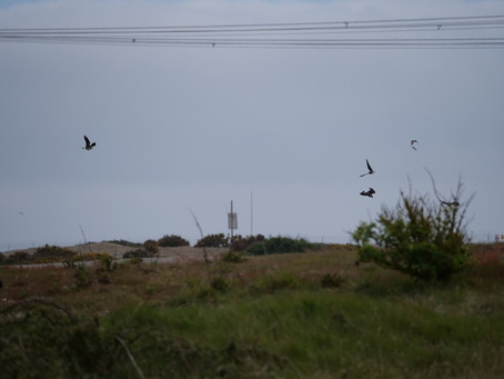Swifts at RSPB Dungeness 15.05.21