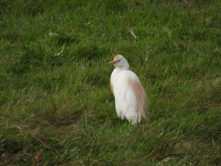 A second trip to RSPB Pagham Harbour: the glory of Cattle Egrets and some Yellow Wagtails 25.09.21