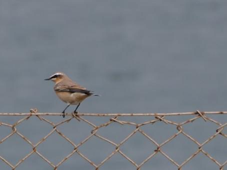 The Adur Estuary SSSI & Shoreham Fort: Ringed Plovers, a Peregrine Falcon & Wall Lizards. 31.08.21