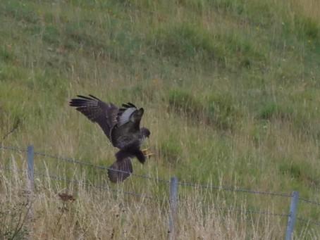 Balsdean & Castle Hill: a Raven, many autumnal wild flowers, and a juvenile Buzzard. 30.08.21