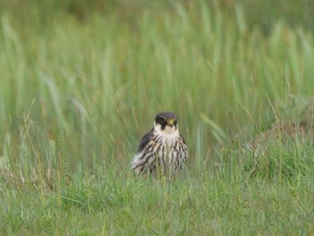 RSPB Dungeness 15.05.21: Hobbies & Swifts
