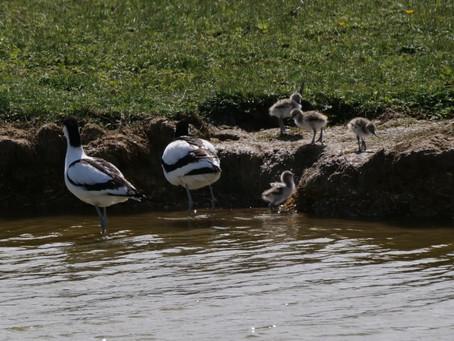 RSPB Medmerry 24.05.21: Avocet Chicks