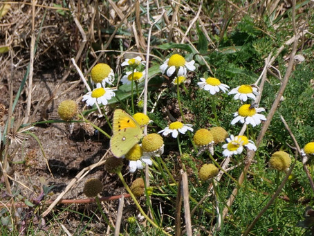 Pollinators and Wild Flowers. Seaford Head and Cuckmere Haven. 08.09.21. A Clouded Yellow
