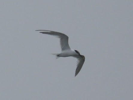 Sandwich Terns - from the Undercliff, Brighton. 02.07.21